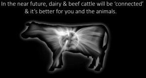 connected cattle